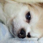 チワワの飼い主経験談