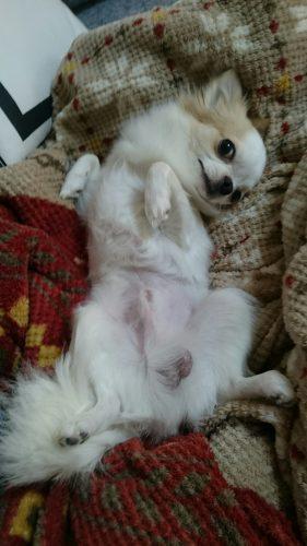 Resultado de imagen para Chihuahua 犬 床を転がる