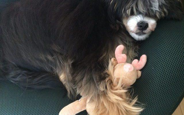 生後7ヶ月のチャイニーズクレステッドドッグを飼っています【子犬成長記】