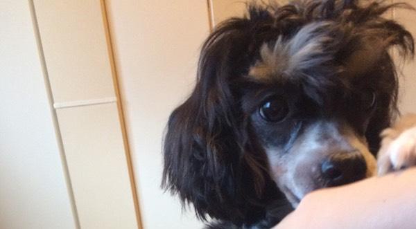 生後10ヶ月のチャイニーズクレステッドドッグを飼っています【子犬成長記】