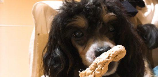 生後12ヶ月のチャイニーズクレステッドドッグの子犬成長記