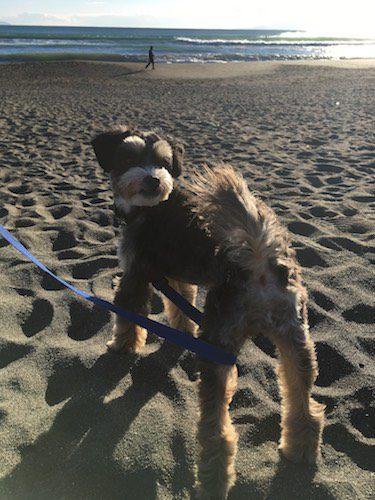 海辺のチャイニーズクレステッドドッグ
