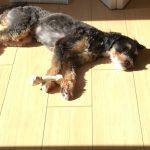チャイニーズクレステッドドッグの飼い主さんと愛犬との成長を追う子犬成長記第10弾