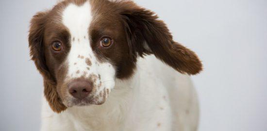 犬の耳掃除におすすめのイヤークリーナー3選